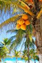 Coconut palm trees Caribbean tropical beach Stock Image