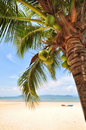 Coconut palm trees with coconuts fruit on tropical beach background Royalty Free Stock Photo