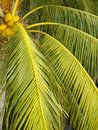 Coconut palm trees found on the islands of palawan philippines Royalty Free Stock Image