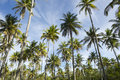 Coconut palm trees grove standing in blue sky of tall green bright tropical nordeste bahia brazil Royalty Free Stock Images