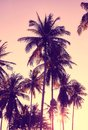 Coconut palm trees silhouettes at sunset.