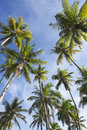 Coconut palm trees standing in blue sky tall green bright tropical Royalty Free Stock Photography