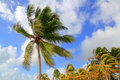 Coconut palm trees tropical typical background Royalty Free Stock Photos