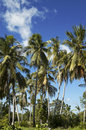 Coconut palms Stock Photography