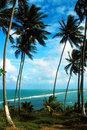 Coconut palms on the ocean  beach Royalty Free Stock Photography