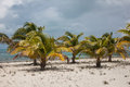 Coconut Palms on Sandy Beach in Caribbean Royalty Free Stock Photo