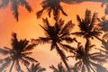 Coconut palms is in tropic on sunset. Royalty Free Stock Photo