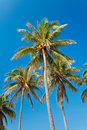 Coconut palmtrees Royalty Free Stock Photography