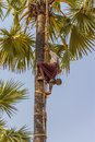 Coconut picker bagan myanmar february climbs the palm tree on february in bagan myanmar Royalty Free Stock Photo