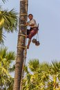 Coconut picker bagan myanmar february comes down from palm tree on february in bagan myanmar Stock Photo