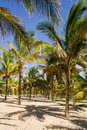 Coconut plantation Stock Image