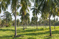 Coconut plantation Royalty Free Stock Photo