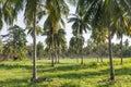 Coconut plantation Royalty Free Stock Photo