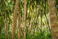 Coconut plant, palm tree Royalty Free Stock Photo