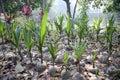 Coconut seeding in the farmland Royalty Free Stock Image