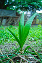 Coconut seedling. Royalty Free Stock Photos