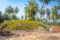 Coconut sprout ready to germinate on a farms Royalty Free Stock Image