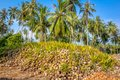 Coconut sprout ready to germinate on a farms Royalty Free Stock Photography
