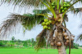 Coconut at tree Royalty Free Stock Image
