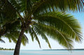 Coconut tree in aitutaki lagoon cook islands landscape of palm trees Stock Photo