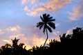 Coconut tree in aitutaki lagoon cook islands silhouette of palm trees during sunrise Royalty Free Stock Image