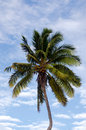 Coconut tree in aitutaki lagoon cook islands top of pald trees Royalty Free Stock Images