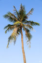 Coconut tree with bright blue sky in background Stock Photography