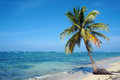 Coconut tree on Caribbean sandy beach Royalty Free Stock Images