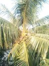 Coconut tree close snap , Beautiful Nature  ,  Close snap of coconut fruits development  / growth . Royalty Free Stock Photo