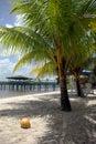 Coconut-tree with coconut  Stock Photos