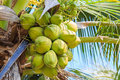 Coconut tree with coconut fruit Royalty Free Stock Photo