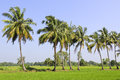 Coconut tree in field Royalty Free Stock Photo