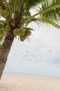 Coconut tree fruit beach sea ocean holiday object