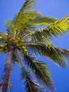 Coconut tree with fruit sonora mexico Stock Photos