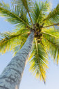 Coconut tree with fruits on blue sky Royalty Free Stock Photos