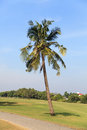 Coconut tree in the garden Stock Image