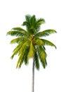 Coconut tree Royalty Free Stock Photo