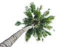 Coconut tree isolated on white background Stock Image