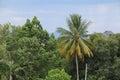Coconut tree jungle, Palms in the tropics Royalty Free Stock Photo