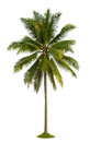 Coconut tree palm isolated on white background Stock Photos