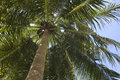 Coconut tree under the blue sky Royalty Free Stock Photo