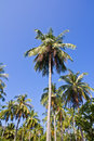 Coconut tree under blue sky Stock Images