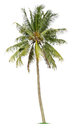 Coconut tree on white background Stock Image