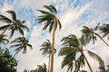Coconut tree in windy day Stock Photo