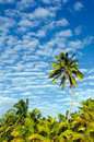 Coconut trees in aitutaki lagoon cook islands landscape of canopy of palm Royalty Free Stock Photos