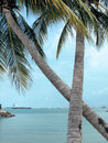 Coconut trees crossed Royalty Free Stock Photography