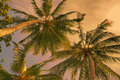 Coconut trees in the evening sunset Royalty Free Stock Photo
