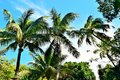 Coconut trees  in Key West Florida Royalty Free Stock Photo
