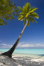 Coconut trees on moorea in sou Royalty Free Stock Image