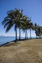 Coconut trees at port douglas avenue of on shoreline Royalty Free Stock Photography